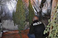 Zlikwidowali plantację marihuany